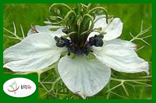 czarn Czarnuszka bogatym źródłem witaminy C