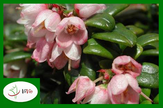 zielona-ramka-lhn Borówka brusznica – czego o niej nie wiesz?