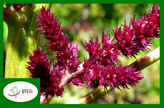 zielona-ramka-logo-mniejszy-for-blog14 Amarantus – cudowne ziarno!