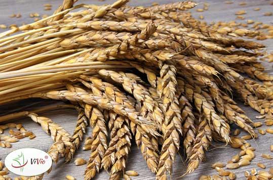 chalka-orkiszowa-z-sezamem Jakie zastosowanie w kuchni ma mąka orkiszowa? Porady + przepis na chałkę z mąki orkiszowej