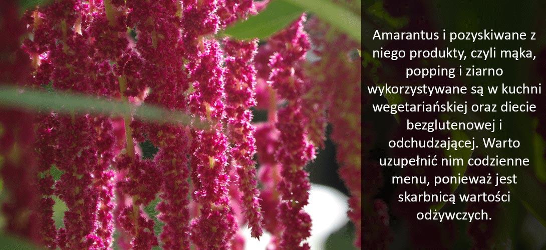 amarantus Amarantus na każdą okazję – sprawdź zastosowanie szarłatu w kuchni!