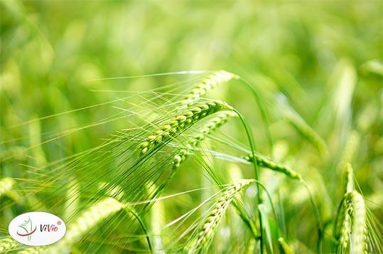zielony-jeczmien Jęczmień – sprawdź, dlaczego warto go stosować?