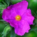 czystek-kwiat-150x150 4 produkty, które zastąpią kofeinę!