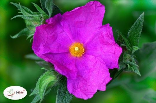 czystek-kwiat CZYSTEK właściwości, działanie, zastosowanie. Wzmocnij naturalnie swoją odporność!