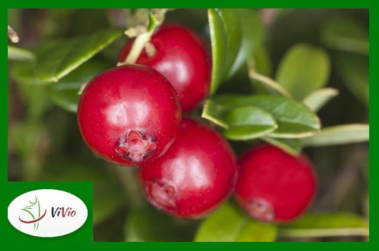 zielona-ramka-logo-mniejszy-for-blog3 Borówka brusznica – czego o niej nie wiesz?