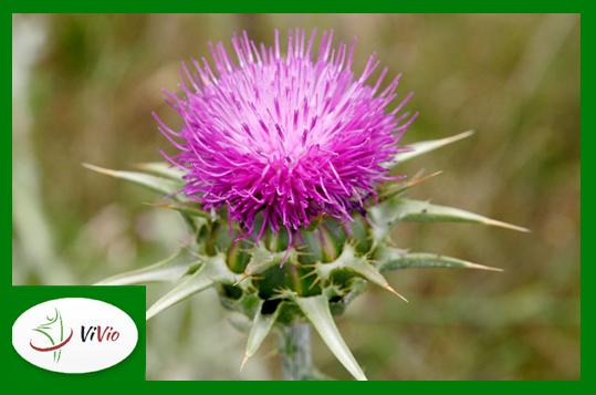 ostropest-kwiat-ramka Ostropest – nadzieja dla wątroby!