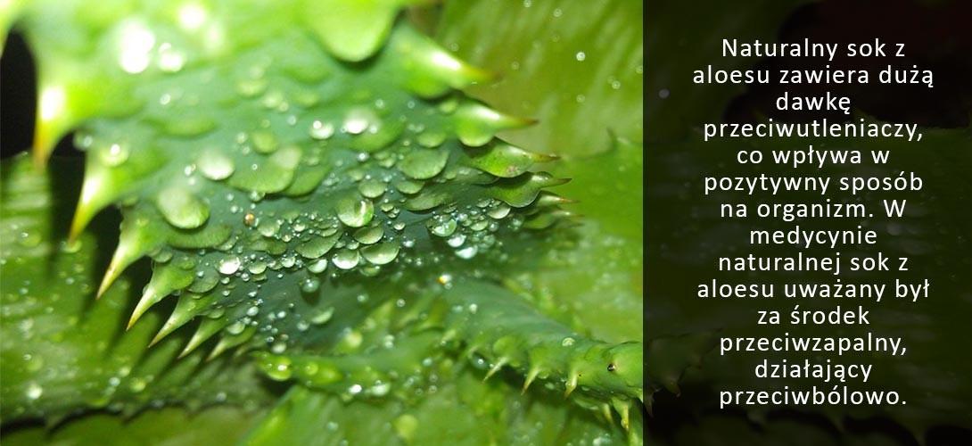 """aloes-sok-bio Aloes – """"dar Wenus"""" o niezwykłych właściwościach!"""