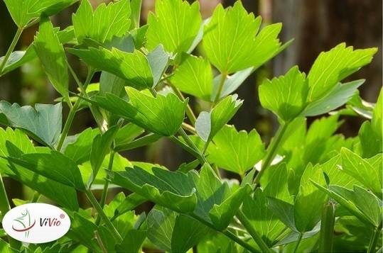 Wyróżniający Lubczyk – Poznaj jego niezwykłe właściwości